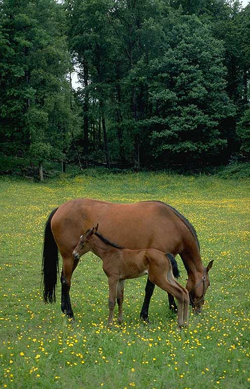 Upcountry horse with colt